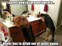 Smart German Shepherds know how to turn on faucets! #GermanShepherd
