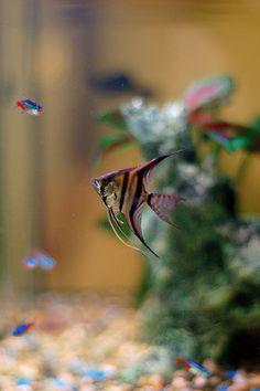 That's like my angelfish! :D
