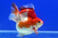 Ryukin Gold Fish 76