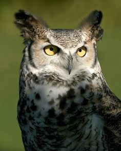Great Horned Owl | photo contest finalist great horned owl description potd from ...