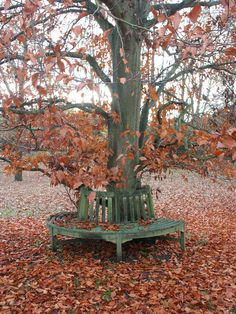beech tree, autumn