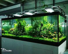 Update of the 180cm planted aquarium in the Aquaflora showroom 16 months after planting. #Aquaflora #Aquascaping #planted #aquarium #aquatic #plant #freshwater #plantedtank #aquascape #plantedaquarium #FAAO