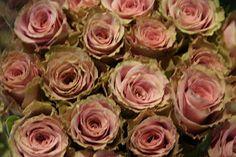 old dutch roses