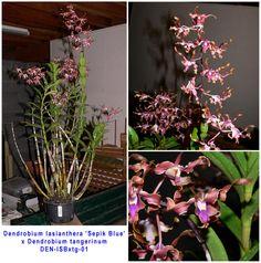 dendrobium lasianthera   Dendrobium lasianthera 'Sepik Blue' x tangerinum - GardenBanter.co.uk