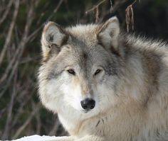 Wolf Den Shared Wolfwatcher Photo