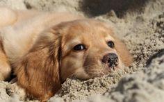 Golden Retriever Puppies - 35 Pictures