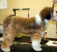 Tibetan terrier pet trim