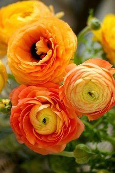 Orange ranuculus