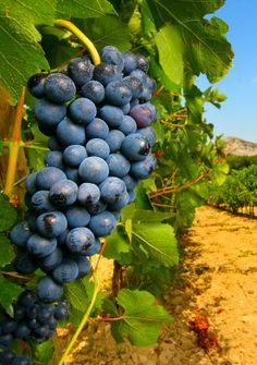 Un viticulteur refuse de traiter aux pesticides ses #vignes : il encourt 30 000 euros d'amende et 6 mois de prison...  - Notre Planète