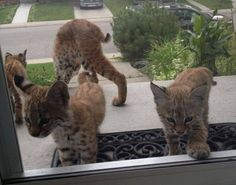 Bobcat Mom and Kittens Give Woman Surprise Visit on Her Doorstep
