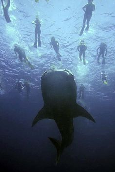 Swimming with Whale sharks in the Caribbean.