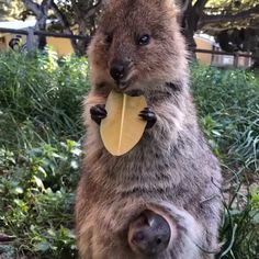 Cute little quokka and baby. Cute little quokka and baby.,Animals Related posts:Charli D'melio - tik tokGigi Hadid Claps Back At Haters Who Complain About Her Tomboy Style - CelebrityBeach Day - tik tokDiy TikTok. Wild Animals Videos, Baby Animal Videos, Cute Wild Animals, Happy Animals, Cute Little Animals, Funny Animal Videos, Cute Funny Animals, Animals Beautiful, Animals And Pets