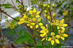Arbusto, pertence à família Malpighiaceae, nativo do Brasil, perene, lenhoso, ereto, muito ramificado e florífero, de 1 a 2 metros de altura, apresentando..