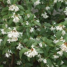 Osmanthus burkwoodii Flowers: April, May Leaves: Evergreen