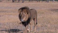 È un dentista del Minnesota il cacciatore che ha ucciso Cecil, il leone simbolo dello Zimbabwe - La Stampa