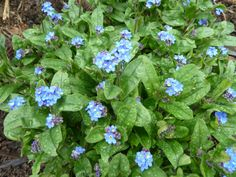 My first Forget Me Nots. I want them to seed all over the place, just like my pansies and violas.