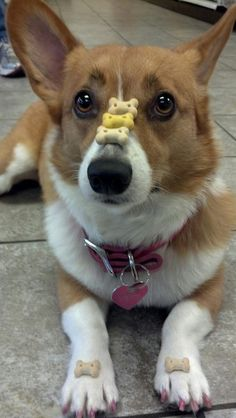 Self control not often seen in a Corgi. Josie you cud never get pacer to do this haha