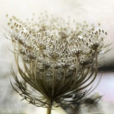 seed head Queen Anne's lace by Ania