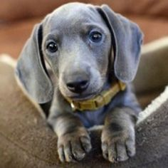 Blue dachshund sooo beautiful ! I rarely have seen this color but love it.