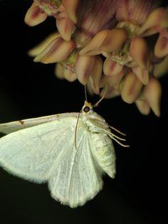 bug of the day   One of the dozens of Lesser Maple Spanworm moths (Speranza pustularia) feeding on the milkweed in my yard each night.