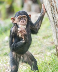 "Photo by @chen1mm  תנ""כי  #igers #igersisrael #igersoftheday #animal #zoo #nationalgeographic #nature #baby #cub  #photography #viewbug #instagram_israel #insta_israel  #natgeo #all_Israel #israeli_moments #ig_israel #bbcearth #nikon #birds #natgeowild #monkey  #wildlifeonearth #jerusalem #telaviv  #ירושלים"
