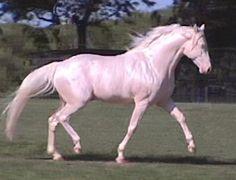 missouri fox trotter horse | Flickr - Photo Sharing!