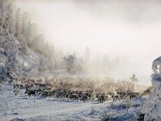 Group of Siberian Reindeer    Photograph by Dean Conger, National Geographic    Reindeer cross the Siberian snow near Oymyakon, in the U.S.S.R. A young girl atop one of the animals herds them forward toward her family's tent and a break for food and rest.