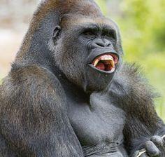 Big gorilla looking a bit agressive Big Animals, Save Animals, Cute Baby Animals, Animals And Pets, Silverback Gorilla, Chimpanzee, Orangutan, Big Gorilla, Dios