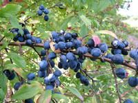 Sloes are in almost every hedgerow somewhere - get to them just before the birds then freeze them for a week to soften up a bit then add to vodka with sugar to make an outstanding yuletime gift Wine Kits, Brewing Supplies, Gin Recipes, Brewing Equipment, Cocktail Drinks, Cocktails, Medicinal Plants, Home Brewing, Yummy Drinks