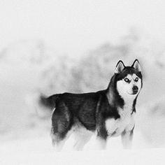 #husky #Eight below-max