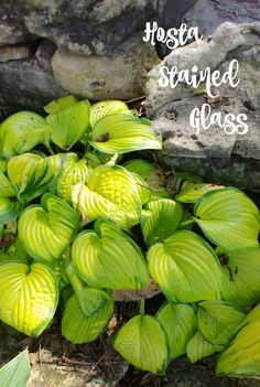 Hosta 'stained glass' in Springfield Botanical Gardens in Missouri. The yellow green leaf color is amazing. Find out how to grow this hosta on The Gardening Cook. #hosta #gardens #gardening #hostaplants