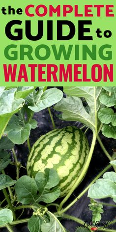 Vegetable Gardening for Beginners: Learn how to grow watermelon in your vegetable garden, plus how to start from seed and when to harvest.
