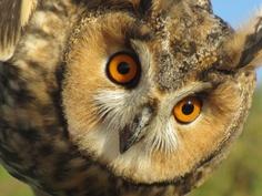 E' abbastanza comune, durante le attività di birdwatching che organizziamo, incontrare e fotografare in primo piano gufi, assioli, falchi, upupe, aquile e altre meraviglie che raramente possiamo vedere cosí da vicino.