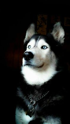 Visit link above to view our fabulous Husky gifts collection. Visit link above to view our fabulous Husky gifts collection. Malamute Husky, Siberian Husky Puppies, Husky Puppy, Siberian Huskies, I Love Dogs, Cute Dogs, Cute Puppies, Beautiful Dogs, Animals Beautiful