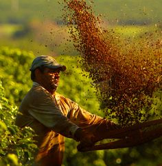 Coffee harvest in Brazil.
