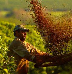 Coffee harvest in Brazil.