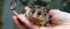 A new home could save the mountain pygmy possum from global heating, scientists say Moth Species, Light Pollution, New Environment, Zoology, The Guardian, Trees To Plant, Mammals, Habitats