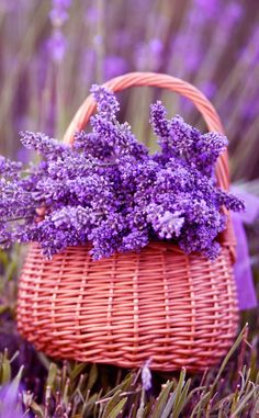 add a caption discovered by Lil'Bunny on We Heart It Lavender Blue, Lavender Fields, Lavender Flowers, Flowers Nature, Pretty Flowers, Purple Flowers, Spring Flowers, Nature Iphone Wallpaper, Flower Wallpaper