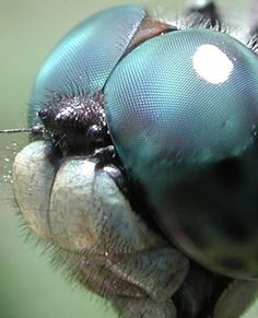 Dragonfly Eyes Close-up