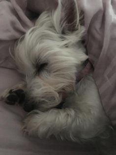 My lovely Lucy snoozing away this morning! Westies, Westie Puppies, Puppies And Kitties, Cute Puppies, Pet Dogs, Doggies, Chihuahua Dogs, White Terrier, Terrier Mix