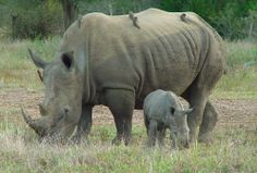 Rhino and Calf in Kruger National Park
