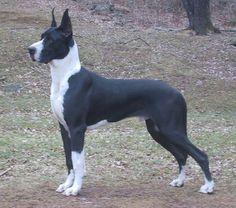 Mantle Great Dane This kind of looks like Winston!