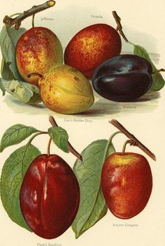 Gorgeous Matted Antique Fruit Print  Plums by AntiquePrintBoutique
