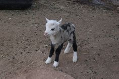 """Adorable Baby """"Geep"""" is a Rare Cross Between a Sheep and Goat - My Modern Met Hmmm....Cashmere and Merino already blended!"""