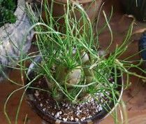 Image result for Albuca Succulent