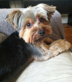 "Sasha the Yorkshire Terrier Looks like my York ""Willow"". .She owns me"