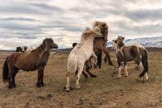 Icelandic Horses - null