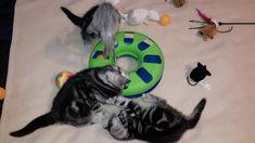 Szuszi Cat kennel -cica bölcsi #brit macska Cat Kennel, Cats, Animals, Gatos, Animales, Animaux, Animal, Cat, Animais