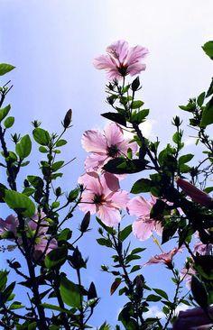 ✯ Pink Hibiscus