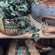 2016.3.17 . ミカニアデンタータ(黒葉) . ズボラーなガーデナーの元にも 春は平等にやってくる . #rustic #Spring #green #gardening #garden #flower #vintage #antique #junk #ガーデン #庭 #錆び #ガーデニング #サビ #ジャンク #古道具 #暮らし #花のある暮らし #春 #rusty #rust #ベランダ #賃貸 by fwork_bag